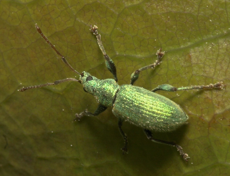 Phyllobius-argentatus-7937.jpg