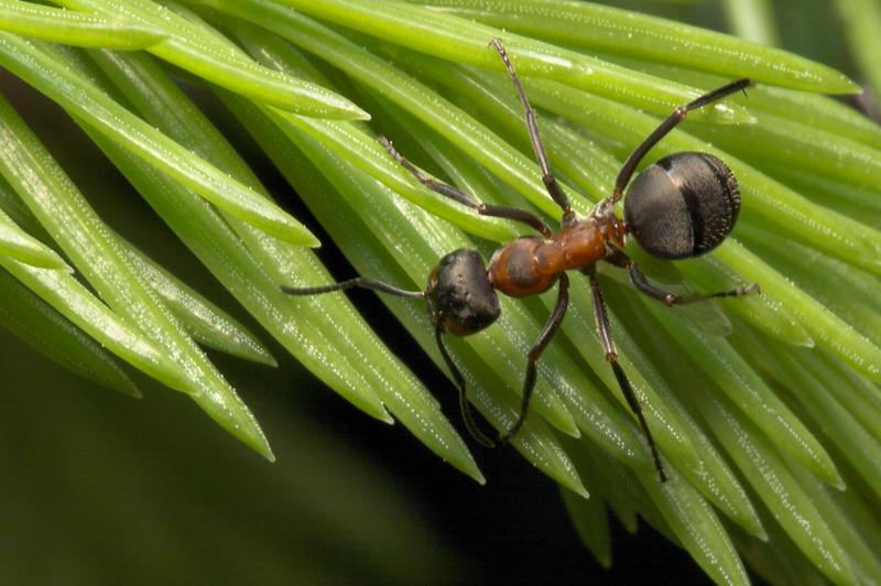 Formicidae-7963.jpg