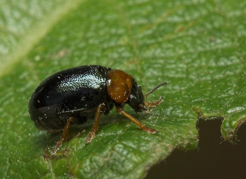 Smaragdina-flavicollis-7965.jpg