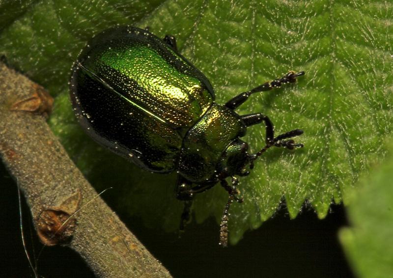 Plagiosterna-aenea-7982.jpg