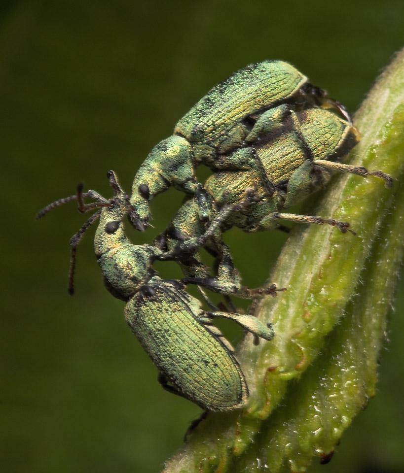 Phyllobius-argentatus-8017.jpg