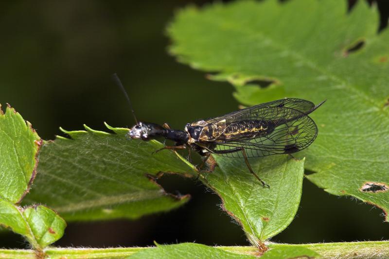 Raphidiidae-8038.jpg