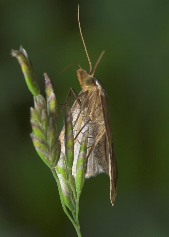Lepidoptera-8285.jpg