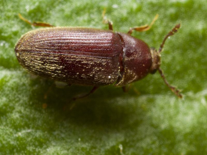 Trixagus-dermestoides-0447.jpg