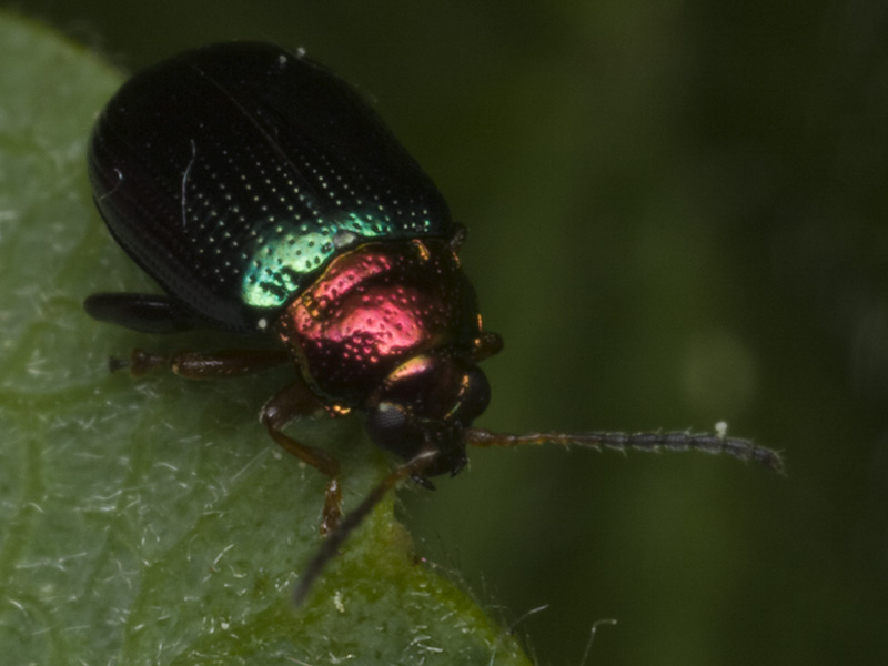 Crepidodera-aurata-1552.jpg