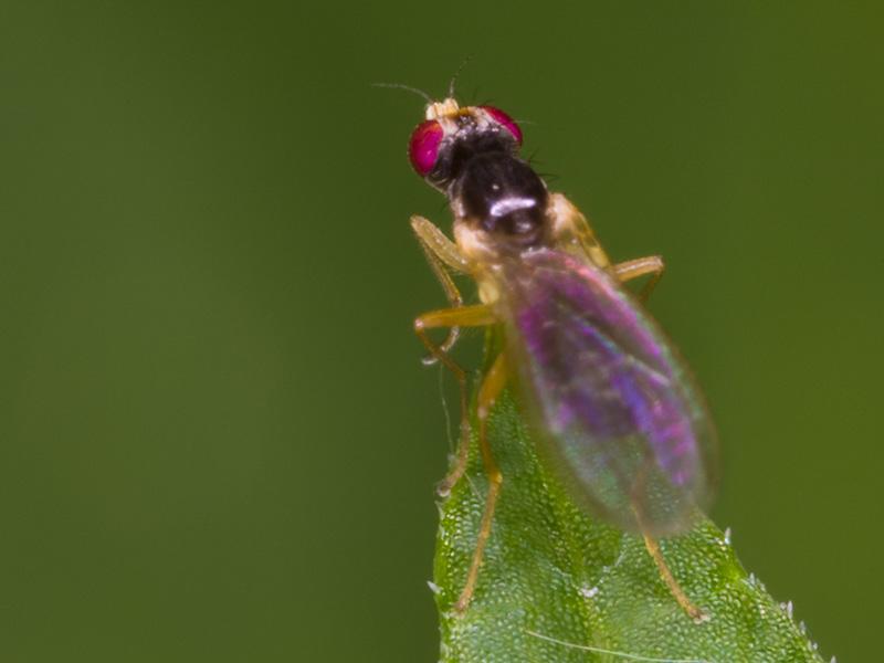 Diptera-3379-001.jpg