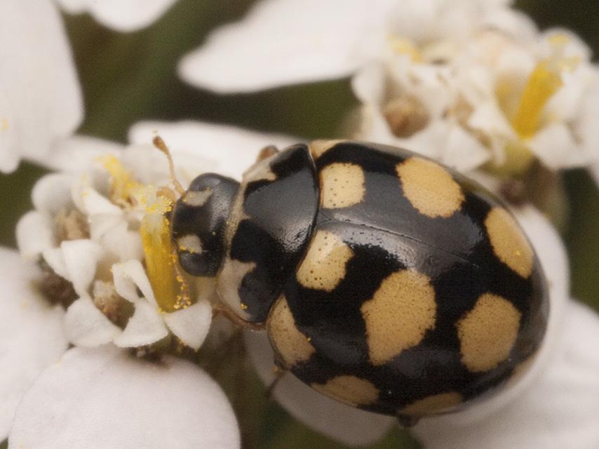 Coccinula-quatuordecimpustulata-2039.jpg